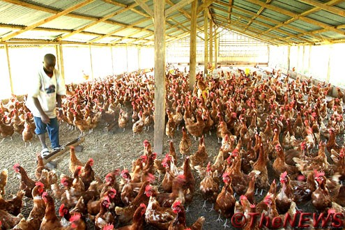 Poultry traders count losses as govt pleads against bans