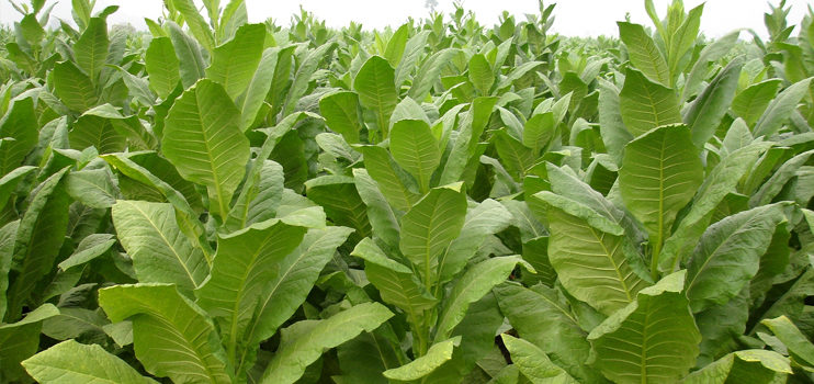 Govt Cautions tobacco companies to Promote food security