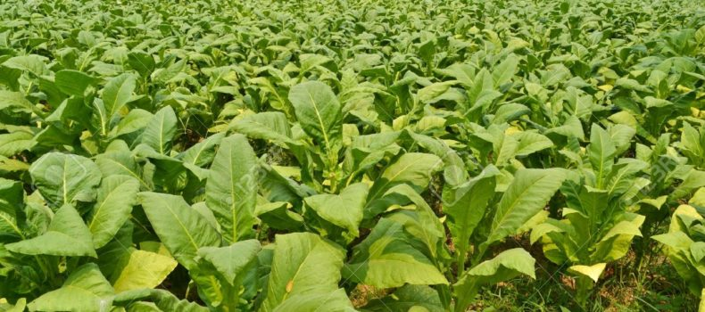 Tobacco growers bitter over delay in paying them