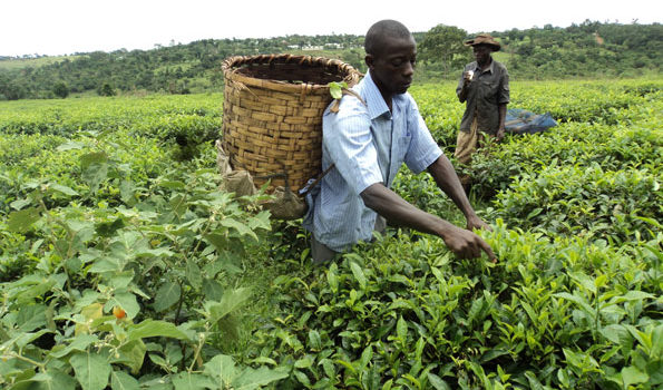 Tea industry players in Rwenzori region and parts of Kigezi fight over tea leaves