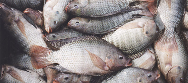 FAO has warned on a  highly contagious disease among farmed and wild tilapia