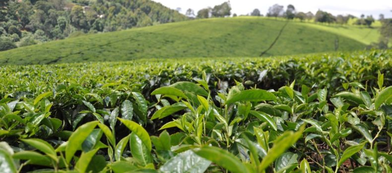 Kenya tea export volumes to world markets drop