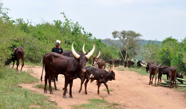Ruhaama County in Ntungamo district facing biting hunger amid dry spells