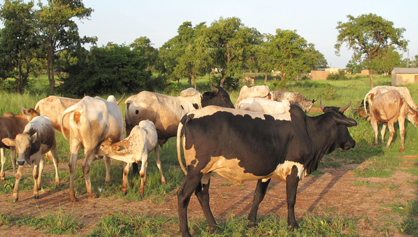 70-year Old Man Arrested For Allegedly Stealing Cows