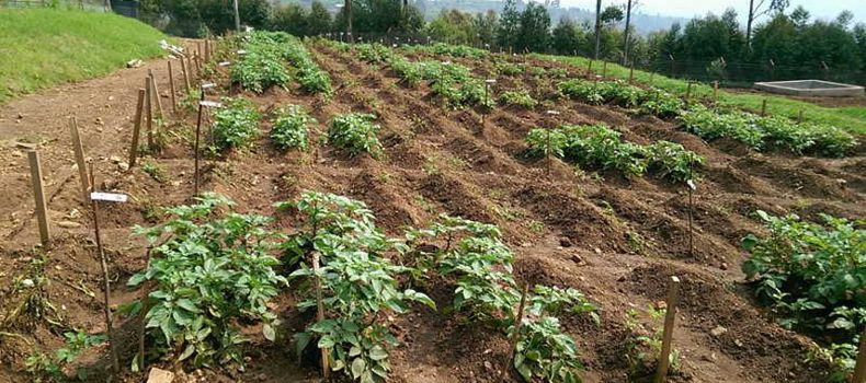 Rubanda Authorities 'Hoard Government Supplied Potato Veins', Farmers Angry