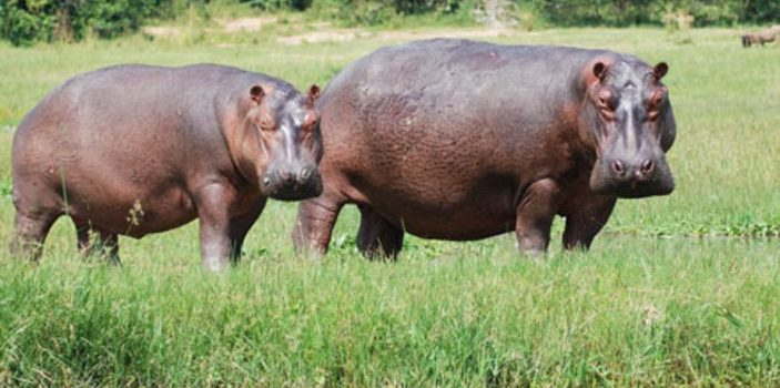 Rakai Farmers  Cry for Gov't help after Hippos destroyed their gardens