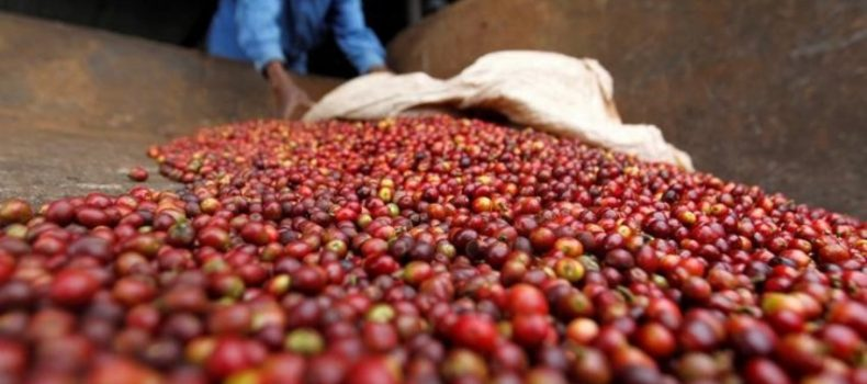 Kenya risks being kicked out of international coffee market.