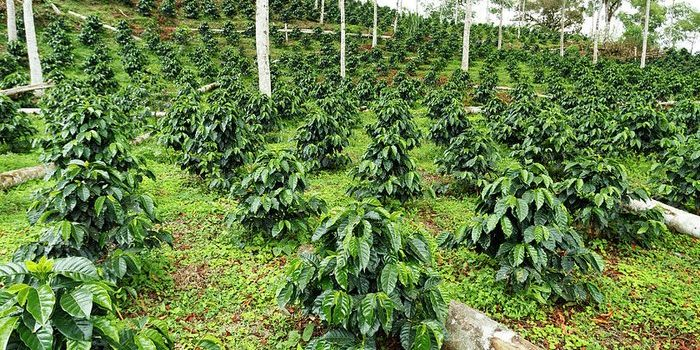 Uganda Coffee Development Authority (UCDA) appeals to government to set up a Coffee Research Trust Fund.