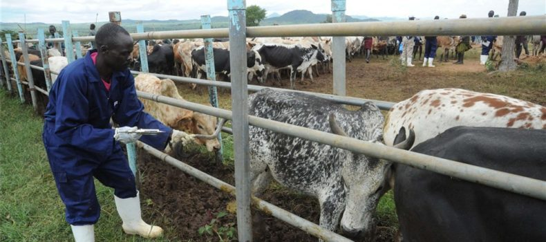 Ministry of Agriculture yields to pressure, lifts quarantine put on Burunga sub-couty in Kiruhura district