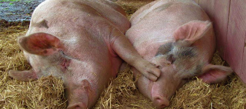 African Swine fever attacks Masaka district