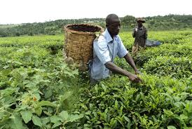 Tea farmers in Kyenjojo district want ask gov't for loans