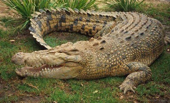 Uganda Wildlife Authority rescues another Nile Crocodile.