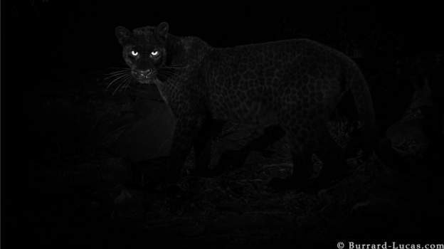 Black panther: Rare animal caught on camera in Kenya.