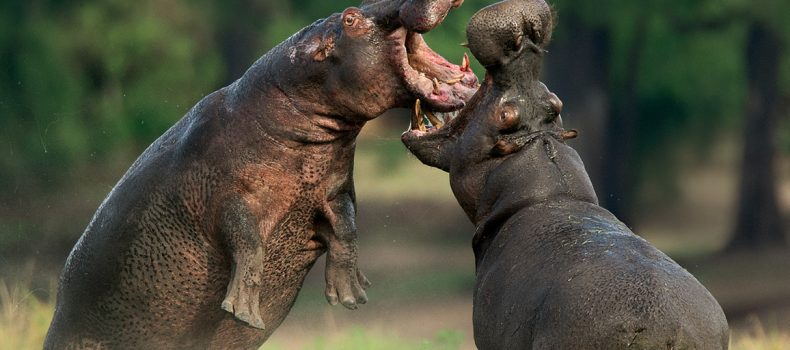 About 28 hippos found dead at the Gibe Sheleko National Park in western Ethiopia.