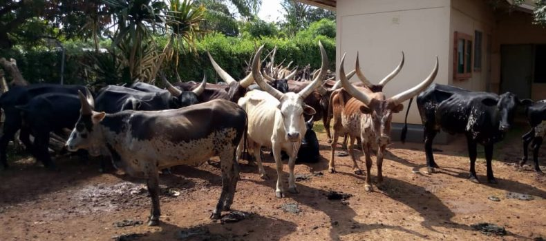 Four arrested for stealing a widow's whole kraal of cattle