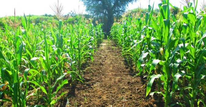 Authorities in Ntungamo district to to arrest farmers who leavefieldsunploughed.