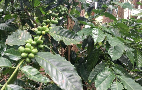 Farmers who harvest immature coffee to be arrested.