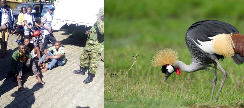 Kisoro police arrests Four suspects for trafficking Crested Cranes to Democratic Republic of Congo.