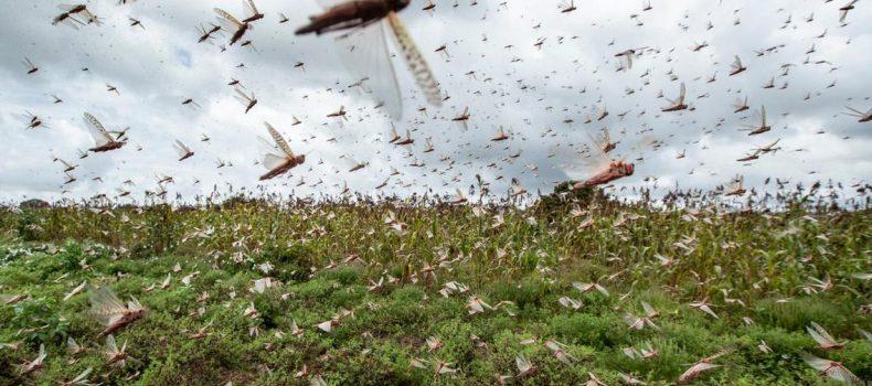 Locusts finally in Uganda through the North.