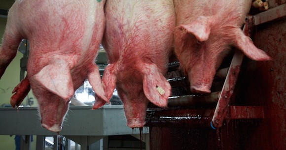 Losses as veterinary team dispose off pork over suspected African Swine fever in Mbarara municipality.