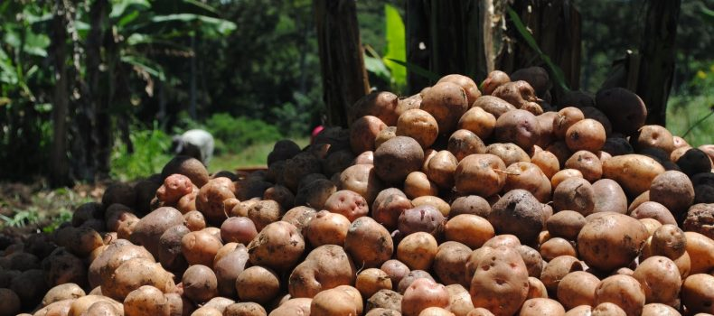 Suspected Irish Potato thieves lynched in Kisoro