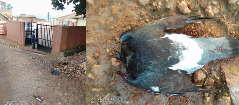 Witches invade Kampala church,pigeons slaughtered at the church entrance