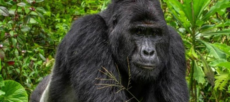 Beloved 25-yr-old silverback gorilla killed by poachers