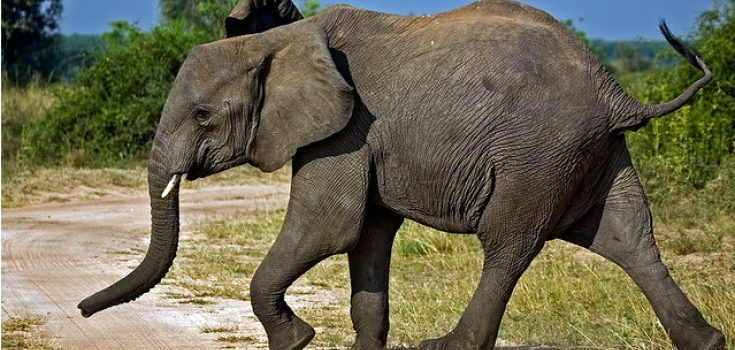 Stray elephants invade Kasese town