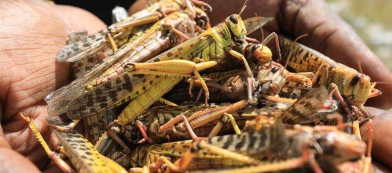 Eating sprayed locusts endangers human body