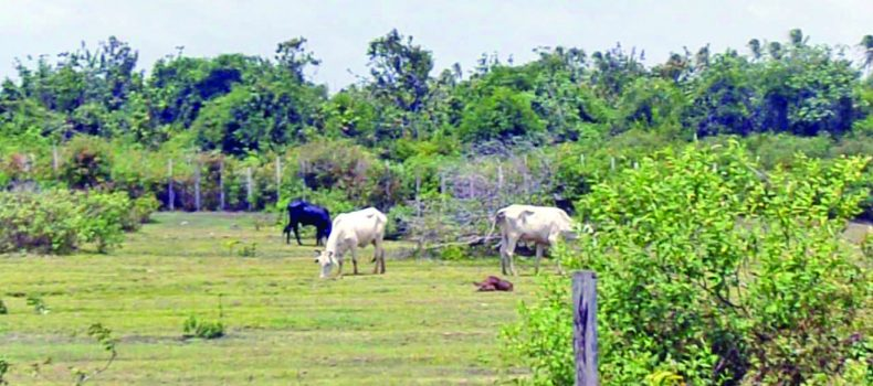 Kamwenge Farmers Frustrated Over Crop Destruction by Animals